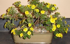 Beauty Shot: Bill's Hobby: Bonsai Chrysanthemum