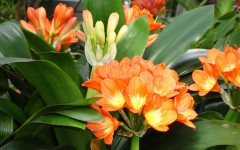 Flower Shows: Philadelphia 2011: Clivia